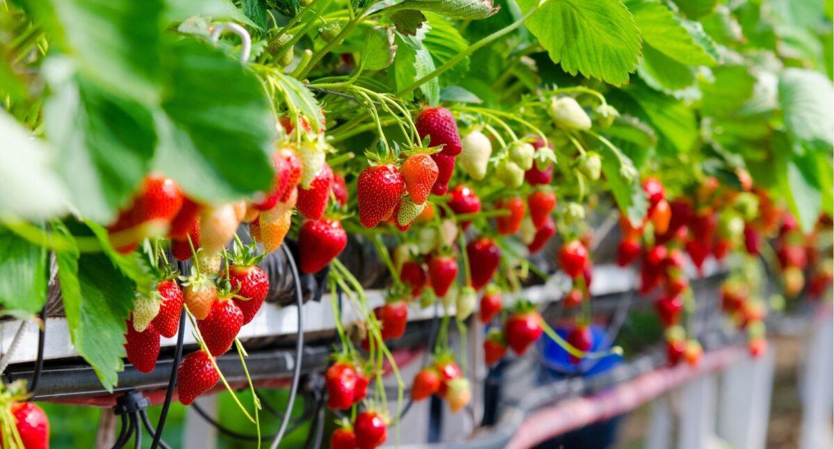 Вирощування суниці і полуниці на гідропоніці. Як збільшити врожай?